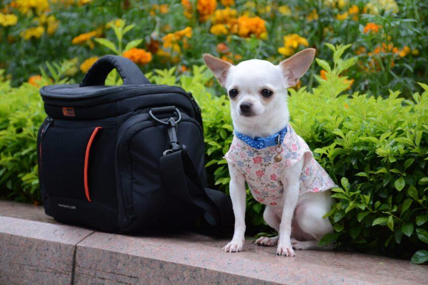 chihuahua con mochila