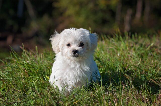 perro de compañia BICHON MALTES