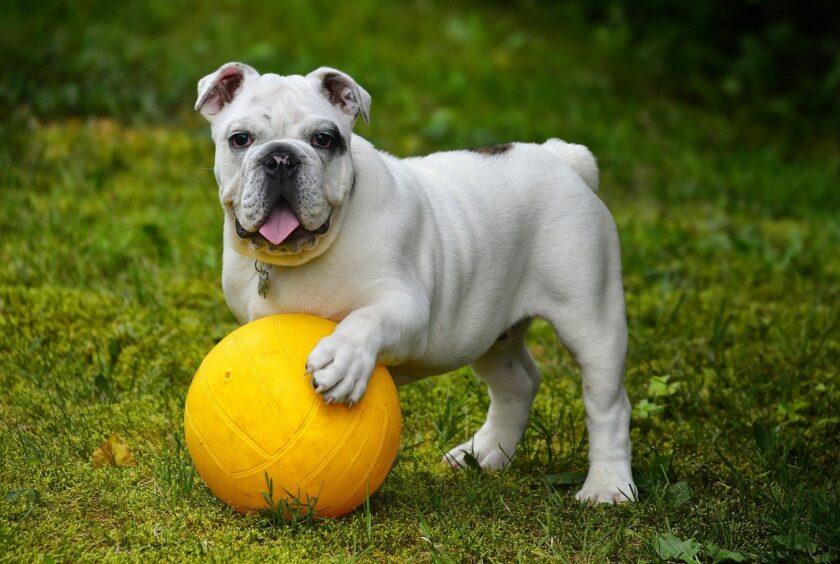 bulldog jugando con pelota