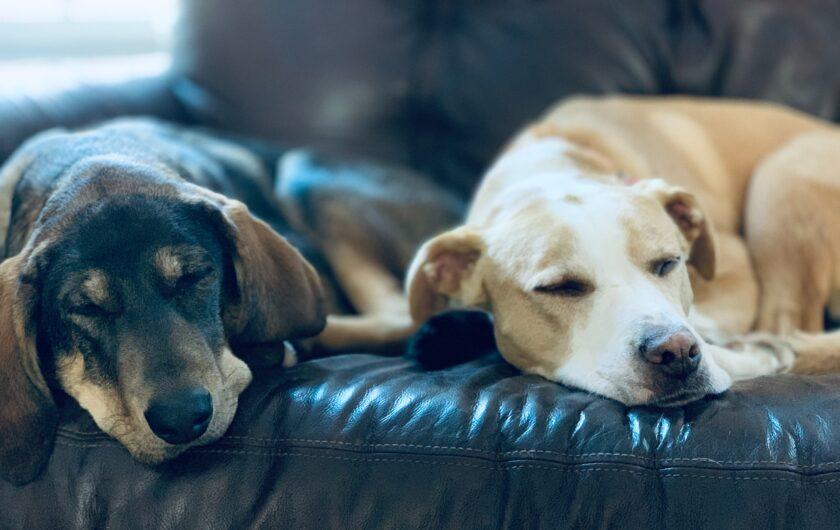 perros en sofa