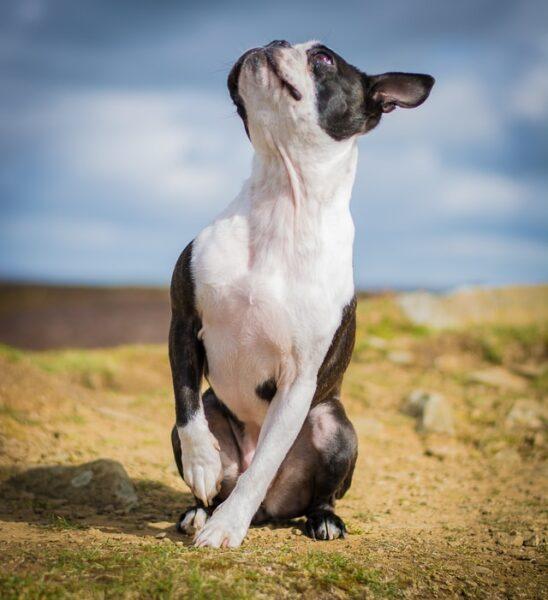 boston terrier raza que suelta poco pelo
